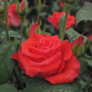 Rosa 'Clarita' - korallpiros teahibrid rózsa