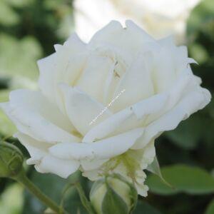 Rosa 'Champagner® (Antique Silk)'- Fehér-vajszínű  ágyás rózsa