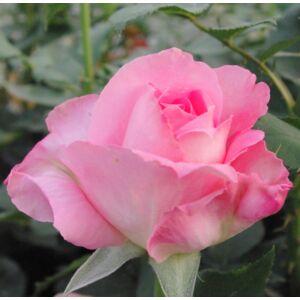 Rosa 'Aurelia' - rózsaszín, enyhén sárgás szirombelső teahibrid rózsa