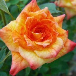 Rosa 'Baby Darling' - narancssárga és sárga tónusok törpe - mini rózsa