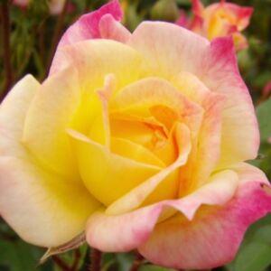 Rosa 'Baby Masquerade®' - sárga korallrózsaszín széllel, egyre vörösebb lesz, végül fakó karmazsinvörössé válik törpe - mini rózsa