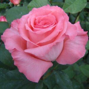 Rosa 'Bel Ange®' - lágy rózsaszín, fonáka sötétebb teahibrid rózsa