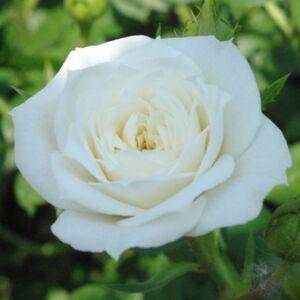 Rosa 'Bianco' - fehér törpe - mini rózsa