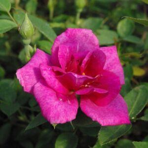 Rosa 'Blue Peter'  - Lila mini rózsa