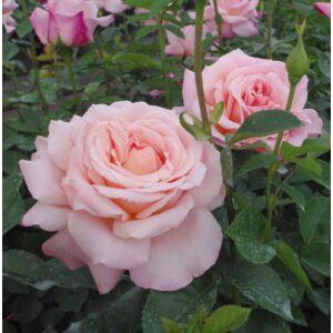 Rosa 'Budatétény' - Sárgás barack rózsaszínű teahibrid rózsa