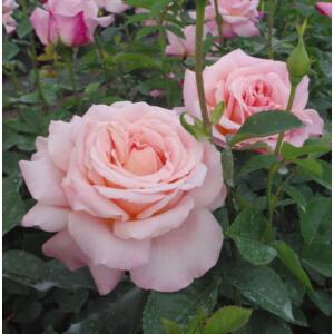 Rosa 'Budatétény' - barackrózsaszín vörös futtatással teahibrid rózsa