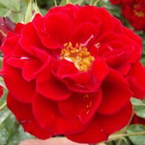 Rosa 'Fekete István' - Bordó mini rózsa