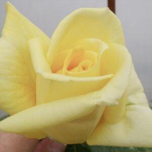 Rosa 'Casanova' - szalma sárga teahibrid rózsa