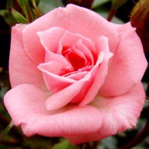 Rosa 'Rennie's Pink' - rózsaszín törpe - mini rózsa