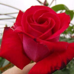 Rosa 'Chrysler Imperial' - bársonyos sötét vörös teahibrid rózsa