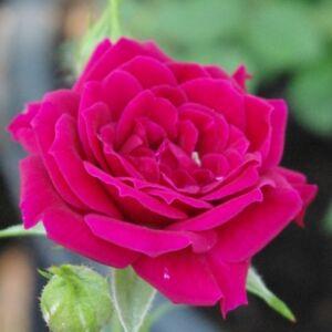 Rosa 'Ciklámen' - karmazsinpiros törpe - mini rózsa