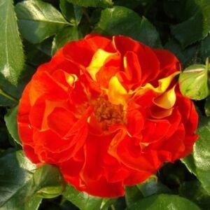 Rosa 'Frenzy' - sárga-piros virágágyi floribunda rózsa