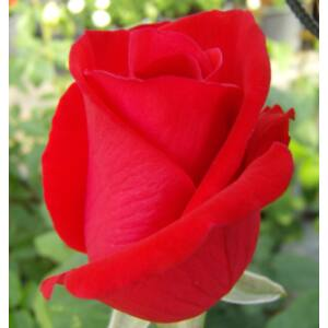 Rosa 'Seńora de Bornas' - Piros teahibrid rózsa