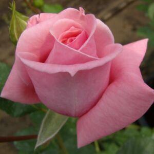 Rosa 'Coral Dawn' - tiszta rózsaszín climber, futó rózsa