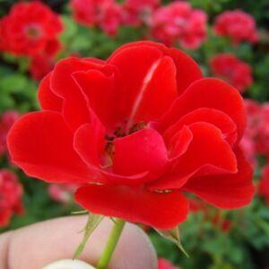 Rosa 'Tara Allison' - Narancsvörös mini rózsa