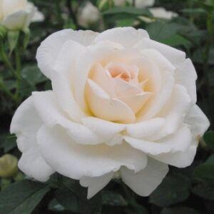 Rosa 'Márton Áron' - krémfehér teahibrid rózsa