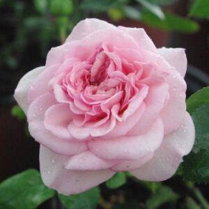 Rosa 'Diadal' - halvány rózsaszín nosztalgia rózsa