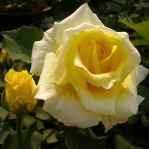 Rosa 'Diana®' - közép sárga virágágyi floribunda rózsa