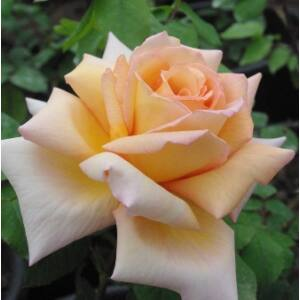 Rosa 'Diorama' - Sötétsárga teahibrid rózsa