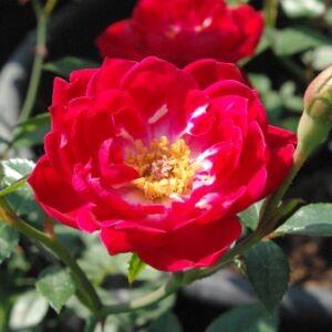 Rosa 'Dopey' - kárminpiros virágágyi polianta rózsa