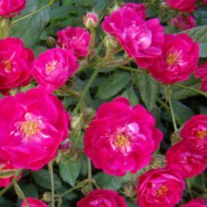 Rosa 'Ännchen Müller' - sötét rózsaszín talajtakaró rózsa