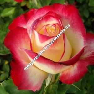 Rosa 'Double Delight' - piros sziromszéllel, fehér középpel teahibrid rózsa