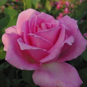 Rosa 'Eiffel Tower' - ezüstös rózsaszín teahibrid rózsa