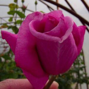Rosa 'Eminence' - ciklámenlila teahibrid rózsa