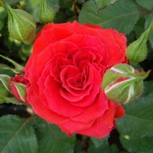 Rosa 'Borsod' - tüzes cseresznyepiros virágágyi floribunda rózsa