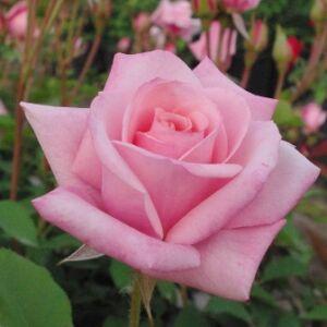 Rosa 'Katrin' - lazacrózsaszín teahibrid rózsa