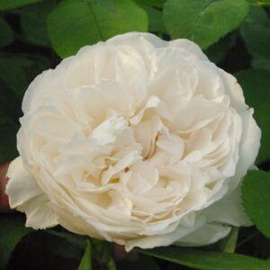Rosa 'White Mary Rose' - fehér, rózsaszínessé válik angol rózsa