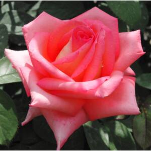 Rosa 'Fortuna® (Kortuna)' - Rózsaszín sárga szirombelsejű teahibrid rózsa