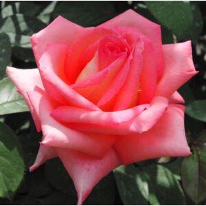 Rosa 'Fortuna®' - lazacszín, sárga szirombelsővel teahibrid rózsa