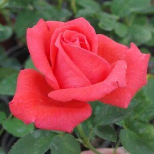 Rosa 'Prominent®' - élénkpiros virágágyi grandiflora - floribunda rózsa