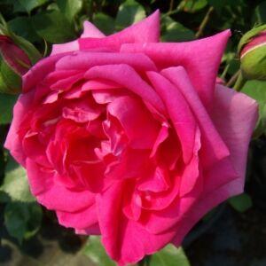 Rosa 'Rosarium Uetersen®' - sötétrózsaszín climber, futó rózsa