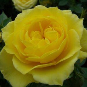 Rosa 'Gold Pin' - élénk aranysárga törpe - mini rózsa