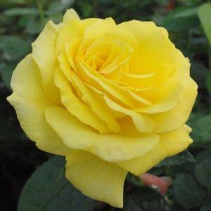 Rosa 'Golden Delight' - sárga virágágyi floribunda rózsa