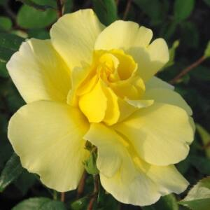 Rosa 'Golden Showers®' - nárcisz sárga climber, futó rózsa