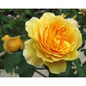 Rosa 'Graham Thomas' - Sárga romantikus rózsa