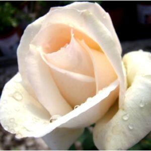 Rosa 'Grand Mogul' - vajszínű, enyhe rózsaszín széllel teahibrid rózsa