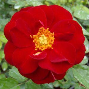 Rosa 'Grand Palace' - sötét piros virágágyi floribunda rózsa