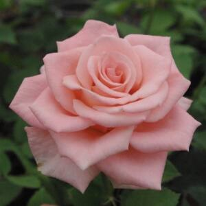 Rosa 'Bettina '78' - Rózsaszín virágágyi - teahibrid vágó rózsa
