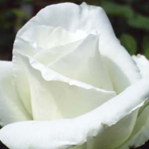 Rosa 'Ida Klemm' - Fehér futórózsa