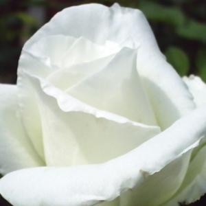 Rosa 'Ida Klemm' - hófehér rambler, kúszó rózsa