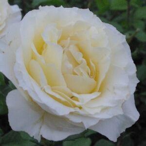 Rosa 'Iris Honey' - Vajszínű teahibrid rózsa