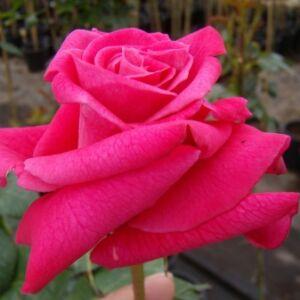 Rosa 'Sasad' - kárminpiros teahibrid rózsa
