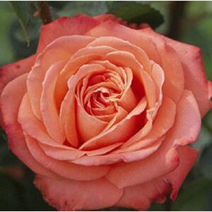 Rosa 'Queen of Roses®' - vörös, a sziromfonák vajsárga teahibrid rózsa