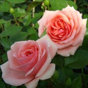 Rosa 'Kimono' - lazacrózsaszín virágágyi floribunda rózsa