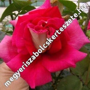 Rosa 'Kronenbourg' - aranysárga, a szirom külső fonákja cseresznyepiros teahibrid rózsa