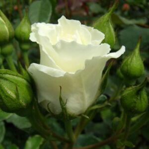 Rosa 'White Magic' - krémfehér sárga futtatással virágágyi floribunda rózsa